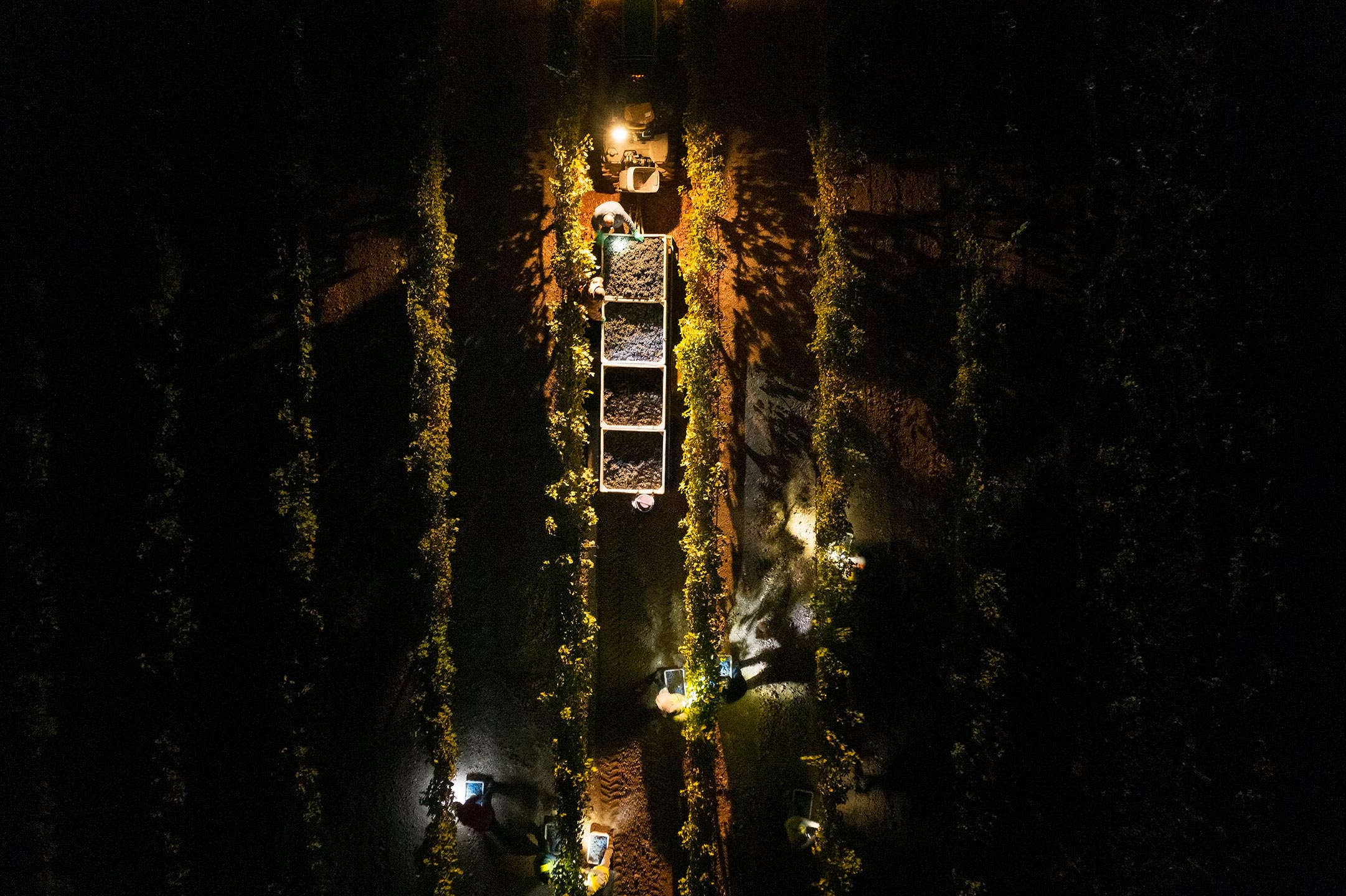 Night-Harvest-at-Chateau-Montelena-Winery